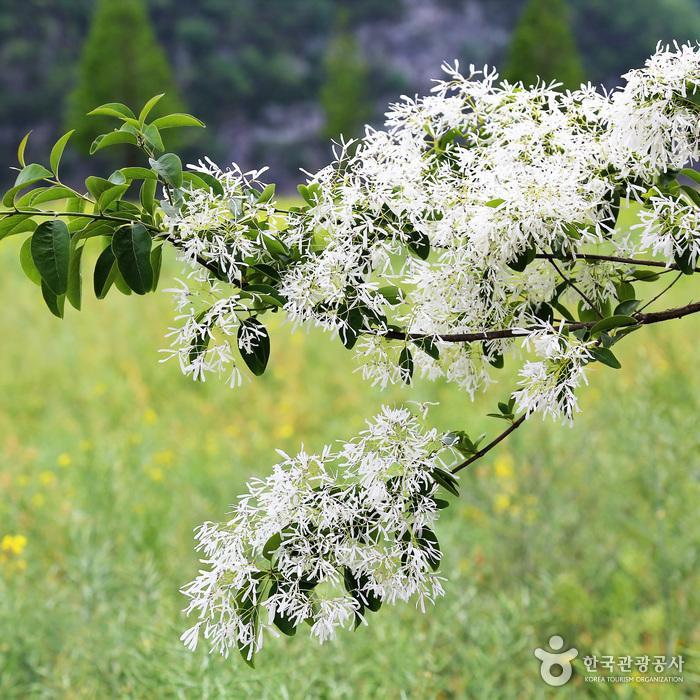 가로수 이팝나무